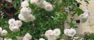 Обзор лучших сортов белых плетистых роз