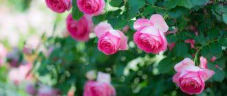 Опрыскивать розы инсектицидами «на всякий случай», при полном благополучии в саду, не нужно