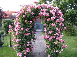 Один из лучших плетистых сортов для входной арки – «Розариум Этерсен».