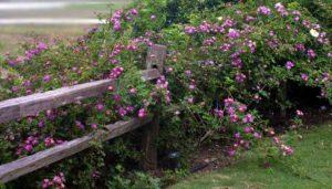 3.Роза «Вайльхенблу» (Veilchenblau).