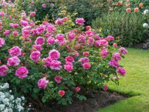 Английская роза Дэвида Остина, сорт «Александра Кент».