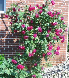 Роза Quadra прекрасно зарекомендовала себя в сибирском климате.