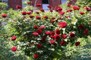 Плетистая роза, сорт «Дон Жуан».