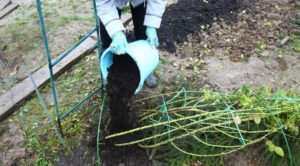 Важно использовать для окучивания роз, землю, принесенную с огорода или луга, но не ту в которой они растут.