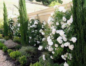 Многие дизайнеры разделяют мнение о том, что наилучшие соседи плетистых роз в групповой посадке - это хвойное растение. Формируя композицию, для высокого фона используют разновидности крупномерных деревьев - туи западной, ели, сосны, тиса. Впереди у подножья розы размещаются низкорослые можжевельники и другие хвойные кустарники. Такая группа будет декоративной круглый год: