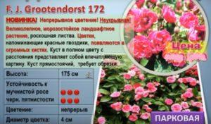 Краткое описание розы Кордеса «Ф. Дж. Грютендорст».
