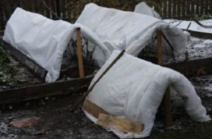 В укрытии предусматривают вентиляционное отверстие. Полностью укутывают розы при наступлении морозов ниже -5°C