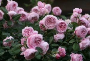 Английская роза «Спирит оф Фридом» (Spirit of Freedom).
