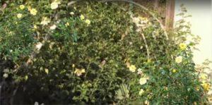 Через несколько лет арка будет полностью увита розой. Если внешний вид опоры не слишком красив, лучше выбирать сорта, которые не нужно снимать на зиму для укрытия.