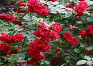 Плетистая роза, сорт «Фламентанц».