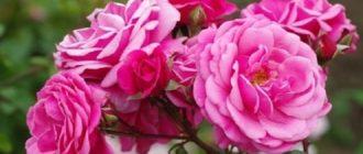 Плетистые розы Этюд и Глория Дэй