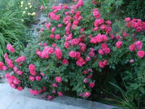 Густооблиственный куст «Джон Кэбот» отлично смотрится в качестве живой ограды.