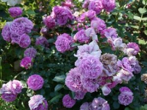 По мере старения цветок розы Blue Boy теряет декоративность, поэтому растение требует постоянной обрезки отцветающих соцветий.