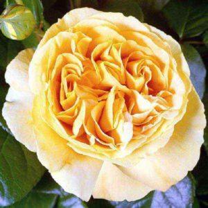 Сорт Candlelight имеет золотую медаль международной выставки роз в Баден-Бадене 2002 года.