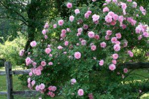 Канадские розы серии Эксплорер способны вписаться в любой ландшафт.
