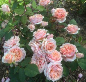 Замечено, что абрикосовый оттенок у сорта Paul Bocuse сильнее проявляется в прохладную погоду, а в жаркую цветок более равномерно окрашен в розовые тона.