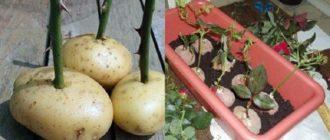Укоренение роз в картофельном клубне