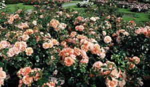 Роза «Априкола».