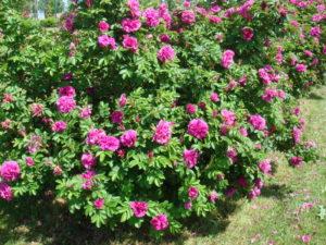 Розу «Ханса» часто называют «махровым» шиповником. Сорт, в самом деле, напоминает свой материнский вид розу морщинистую, но существенно превзошел его по декоративности.