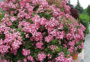 При благоприятных условиях роза «Моцарт» (Mozart)цветет настолько густо, что за лепестками не видно листьев.