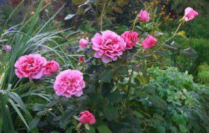 Цветки розы «Принцесса Александра» похожи на пионы.