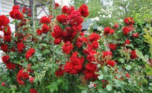 «Ротер Корсар» часто использует, как невысокую плетистую розу для вертикального озеленения.