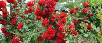 Роза «Ротер Корсар»
