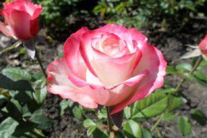Чайно-гибридная роза «Sweetness».