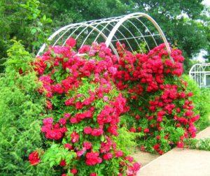 Плетистые розы растут на одном месте до 30 лет, поэтому опора для них должна быть крепкой и долговечной.