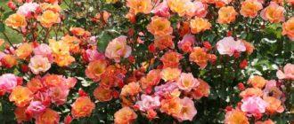 Роза «Джаз»