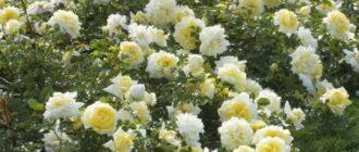 Роза «Надя»