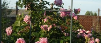 Плетистая роза Bienvenue: описание и отзывы