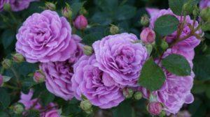 Практика показывает, что роза Blue Boy способна расти как на солнце, так и в тени.