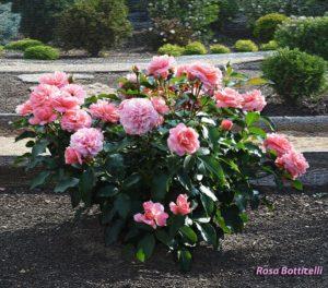 Красивый гармоничный куст розы Botticelli делает этот сорт пригодным для солитерной посадки.