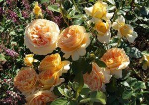 Роза Candlelight формирует аккуратный, хорошо разветвлённый куст с множеством цветоносов.