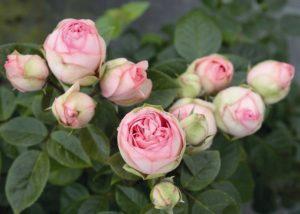 Розы Charming Piano хорошо держатся в срезке и подходят для составления флористических композиций.