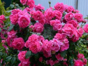 Роза Modern Centennial рекомендована для IV зоны USDA и прекрасно показывает себя в условиях Подмосковья.