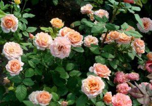 Для поддержания здоровья розы Paul Bocuse полезно в течение сезона регулярно обрабатывать куст гуматом калия.