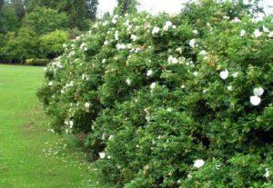Ругоза Альба не требует повышенного внимания цветовода, но отзывчива на уход.