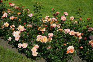 Розу «Априкола» часто используют для бордюров.
