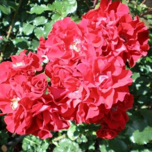 Распустившиеся цветки розы «Ротер Корсар» держатся на побегах около месяца.
