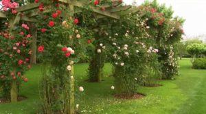 Мульчу укладывают в приствольные лунки плетистых роз.