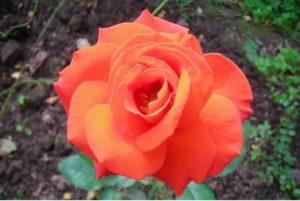 Роза «Лас Вегас» отличается эффектным ремонтантным цветением. Бутоны появляются на протяжении всего лета.
