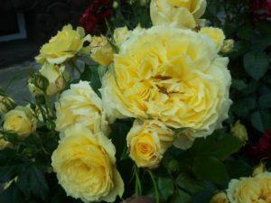 Ярко-желтая розочка «Чайна Герл» по мере раскрытия бутона приобретает лимонный оттенок, постепенно обесцвечиваясь до почти белого.