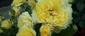 Роза «Чайна Герл»