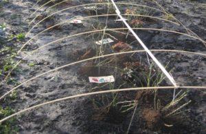 Каркас, сооруженный над кустами обеспечивает воздушную прослойку при укрытии роз лутрасилом или спанбондом.