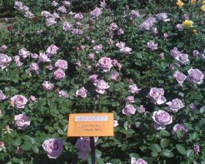 Массивы сиреневых роз создают настроение покоя и умиротворения.