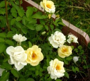 У молодых кустов сорта J.P. Connell цветок имеет меньшую махровость, чем у взрослых.