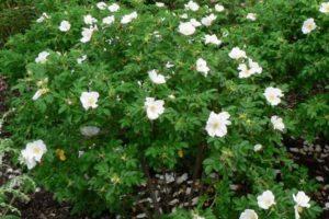 Омолаживать кусты белой ругозы можно один раз в 5-8 лет.