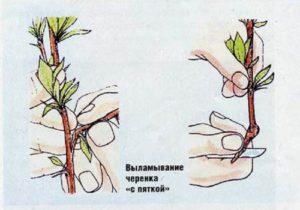 Отделить побег вместе с «пяточкой» можно и без ножа, аккуратно выломав его. Однако в этом случае нужно стараться как можно меньше повредить кору материнского растения.